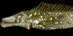 Blind Slaughterfish